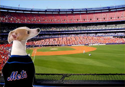 Lola the Italian Greyhound looking over Shea Stadium