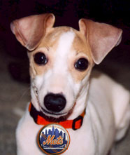 Dog Day at Shea Stadium - Dog wearing Mets badge
