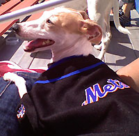 Lola the Italian Greyhound in Mets jersey at Shea