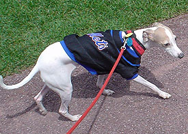 Lola the Italian Greyhound marching around Shea Stadium